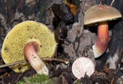UI Bolete on S Wilts beech stump 2018-10.jpg