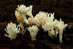 Clavulina coralloides - Crested Coral.