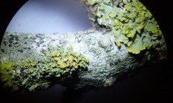 Xanthoria polycarpa on apricot twig, centre, with fruiting Xanthoria parietina top right (and non-fruiting lobe of Xanthoria parietina far left) showing the difference in scale of the two lichens. On apricot.