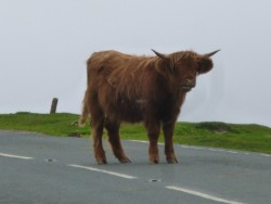 Highland cows refusing to move