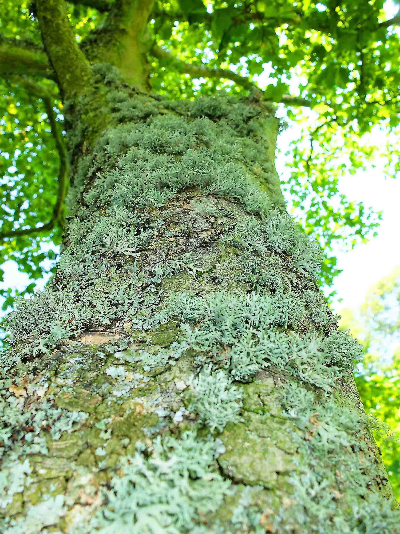 Lichen on Sycamore - Copy.JPG