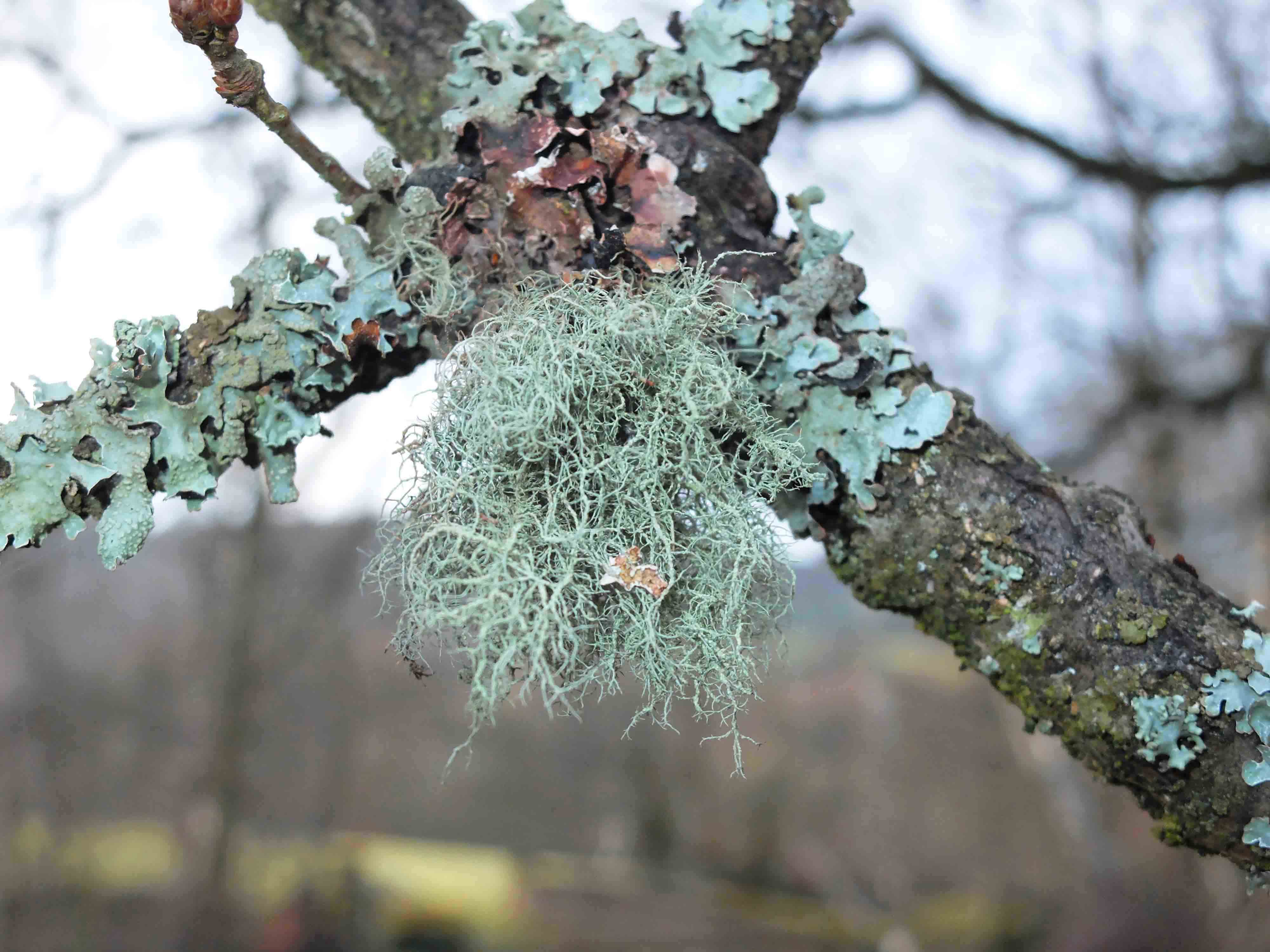 Usnea florida - Copy.JPG