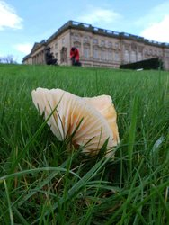 A late Meadow Waxcap with the Stainborough Wentworth Hall behind.