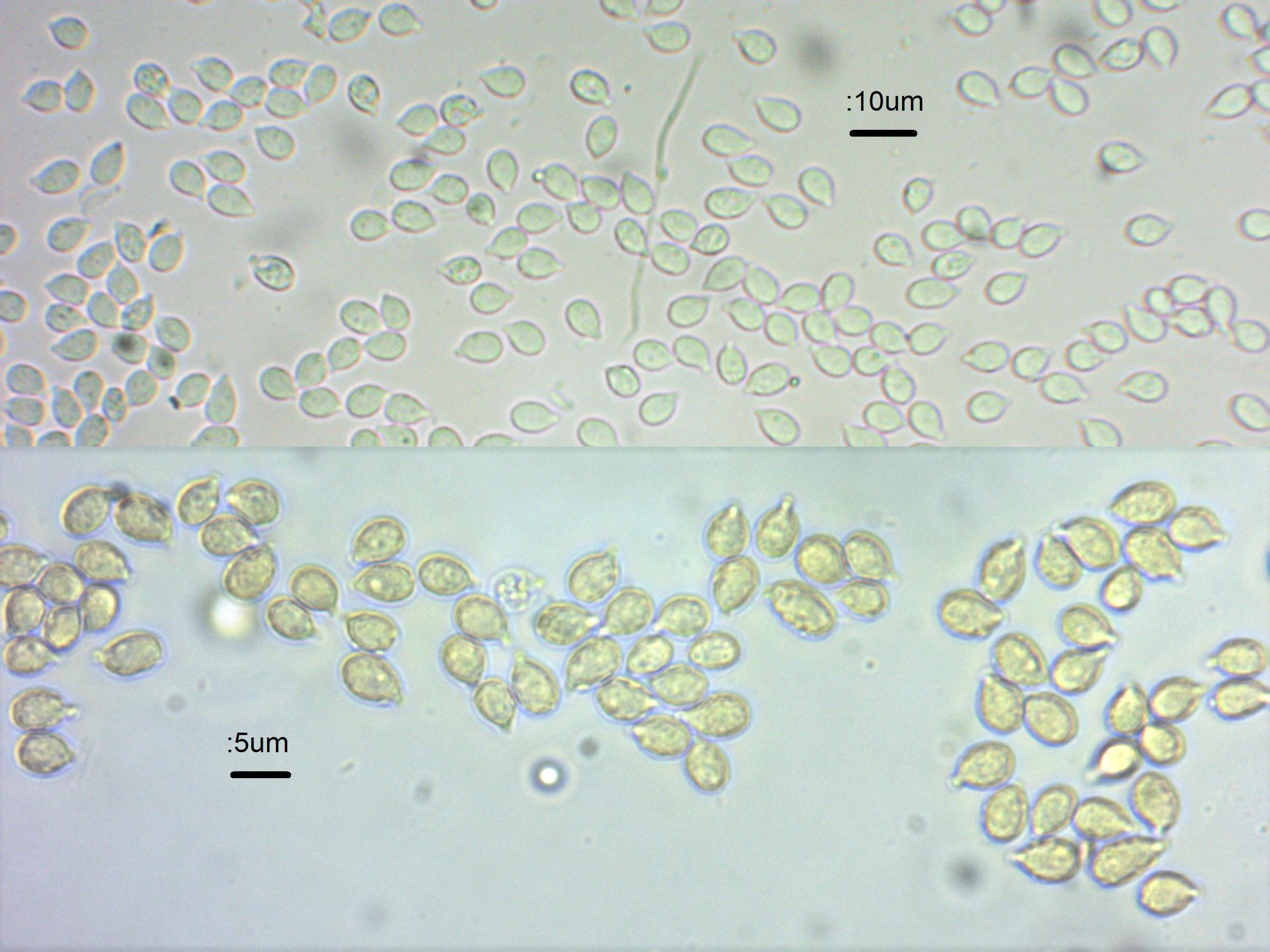 3 Spores in water and meltz  x600 and oil.jpg