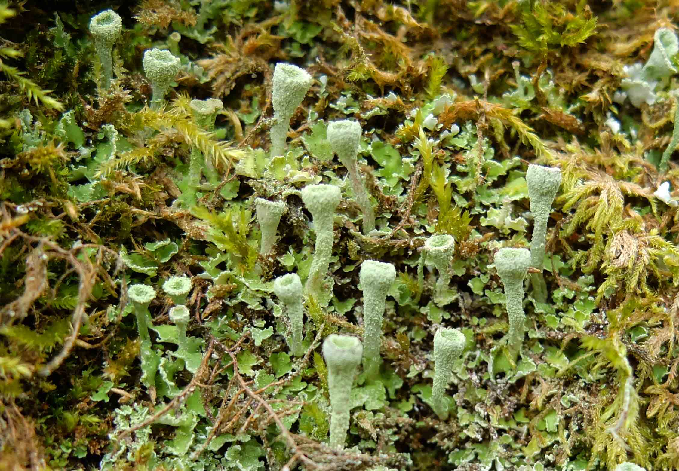 Cladonia fimbriata at Wildboarclough.jpg