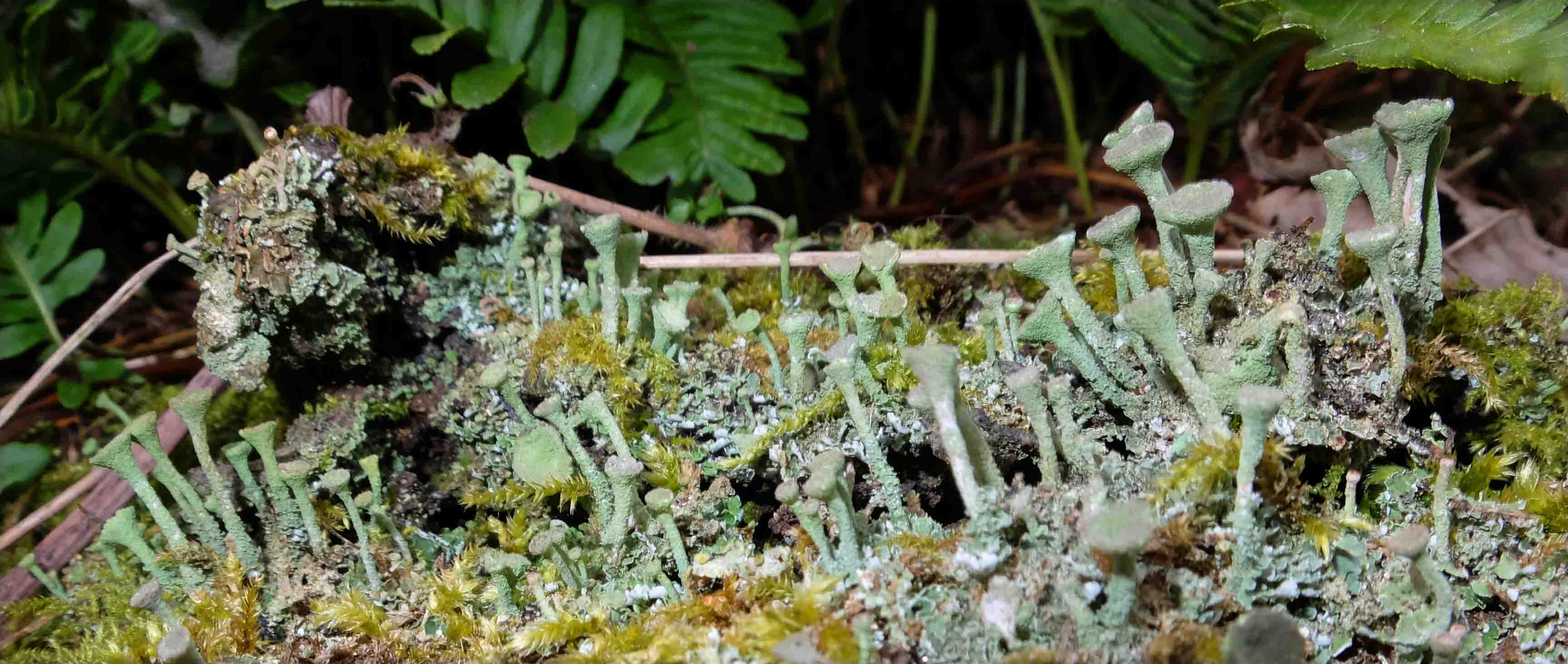 Cladonia fimbriata at Wildboarclough2.jpg
