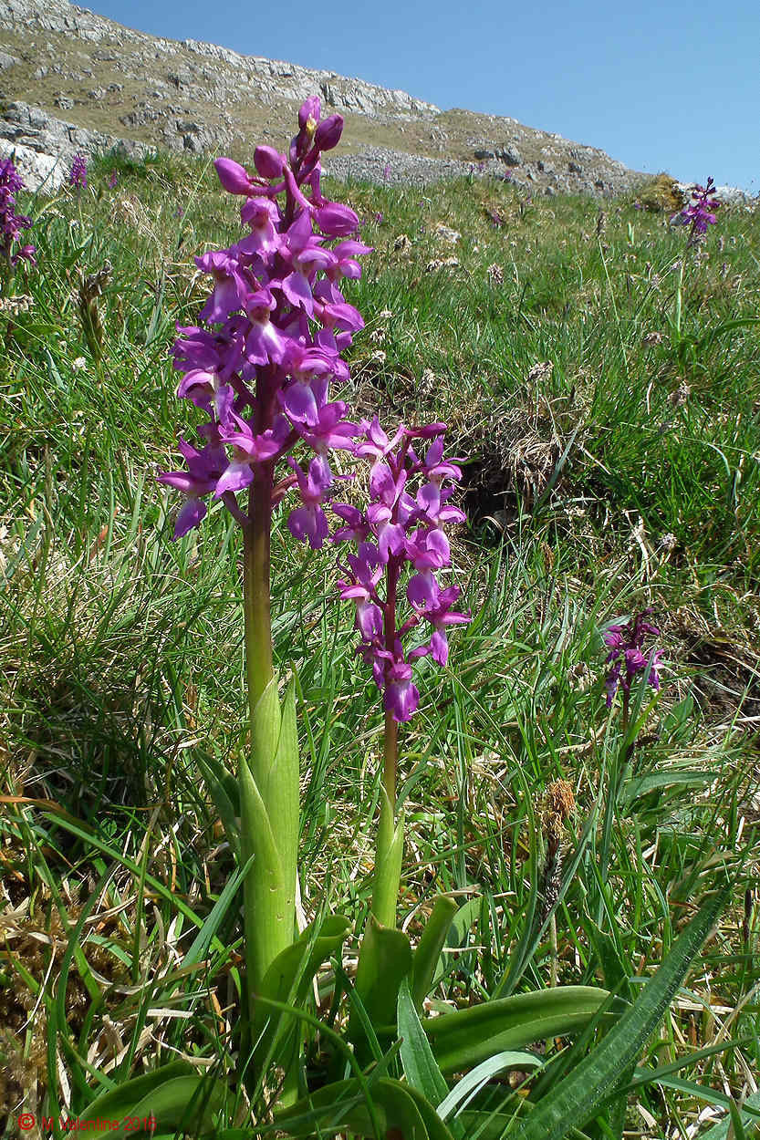 12 - Common Spotted Orchids (Attermire Scar).jpg