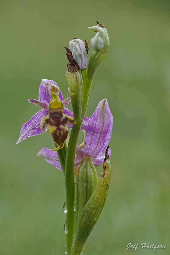 Wasp Orchid Spike.jpg