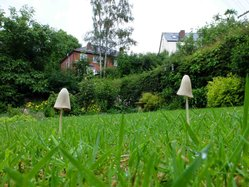 Conocybe apala in 't back garden