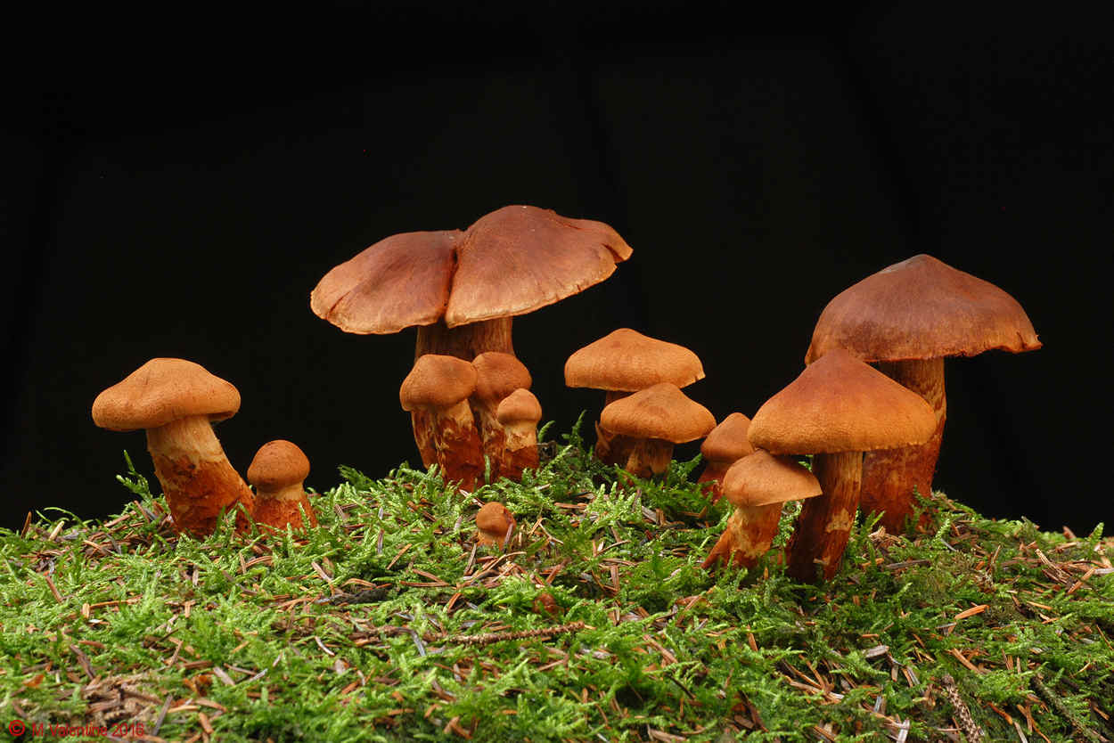 Cortinarius rubellus - Deadly Webcap.jpg