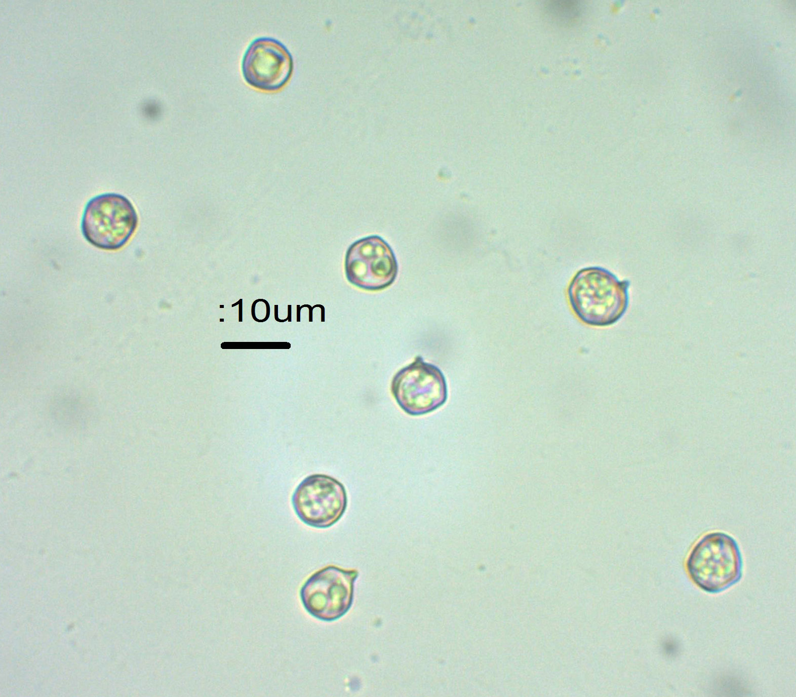 5 Spores x 600 in water.jpg