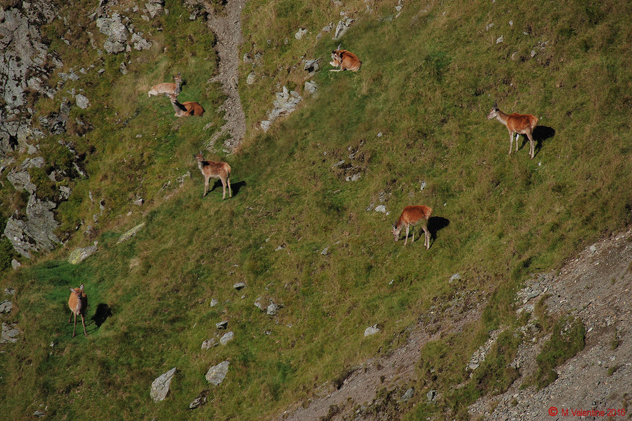 06 Wild deer on the flanks of The Knott.jpg