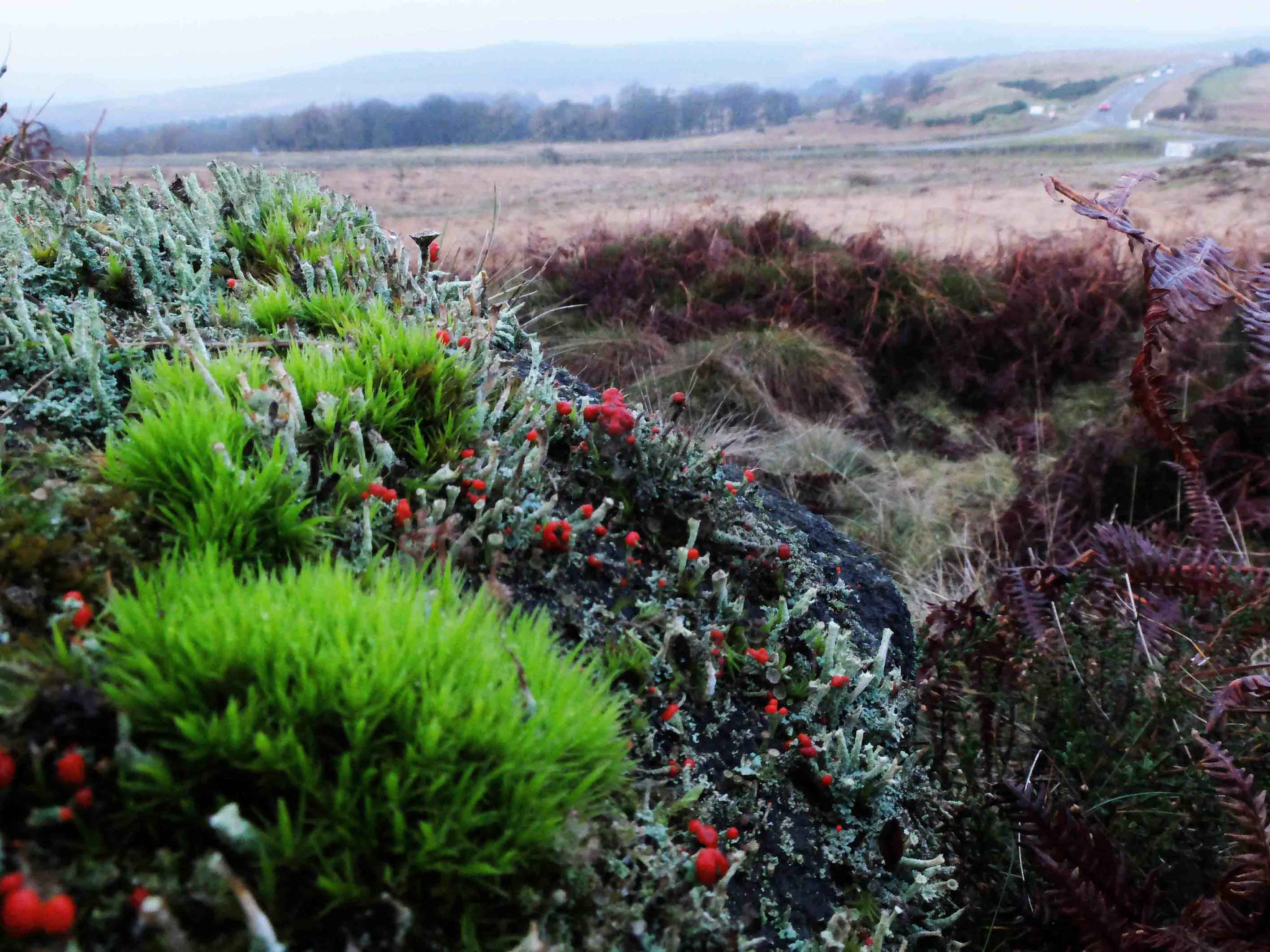 Cladonia lichens on White Edge Moor.jpg