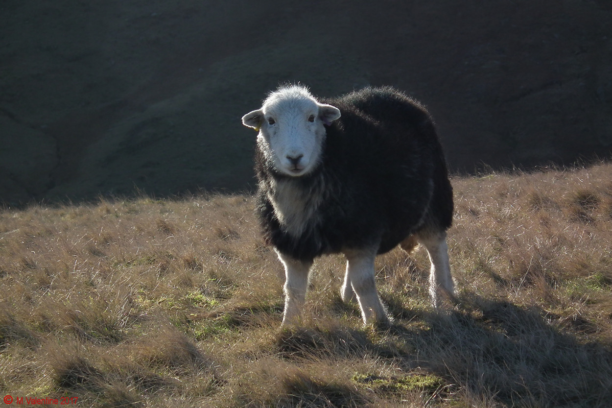 07 An Inquisitive Herdwick.jpg
