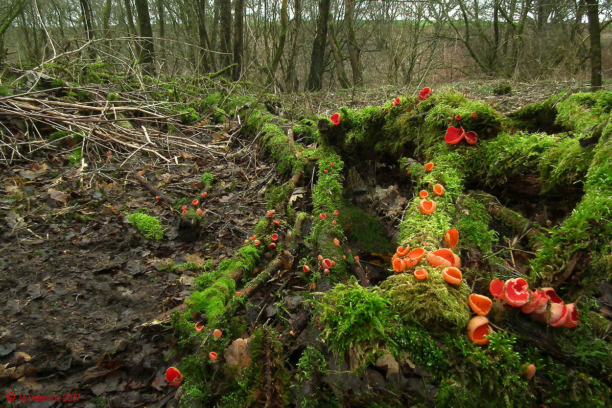 Sarcoscypha austriaca - Scarlet Elf Cup (With orange variants).1.jpg