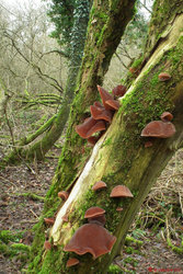 Auricularia auricula-judae - Jelly Ear.