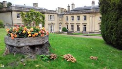 Armillaria at Wortley Hall, South Yorkshir