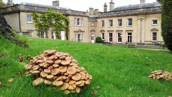 Armillaria at Wortley Hall, South Yorkshire