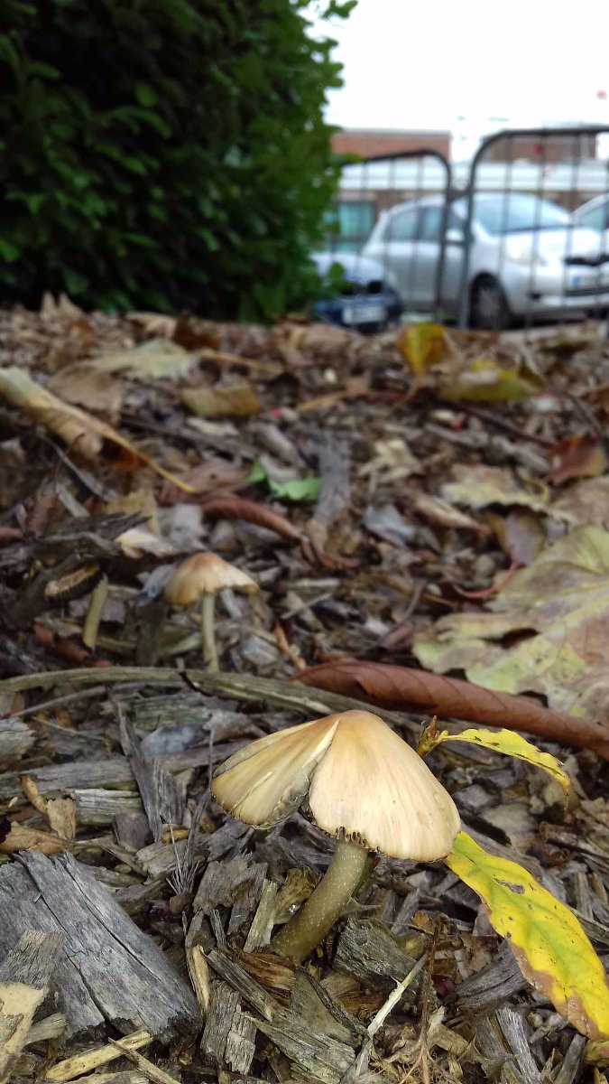 Inocybe cookeii at NGH.jpg