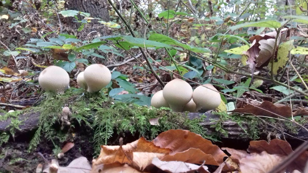 Stump Puffball at Roe Wood.jpg