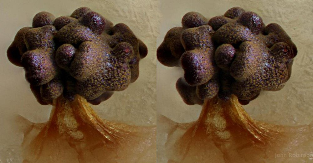 Physarum_polycephalum1_1000.jpg