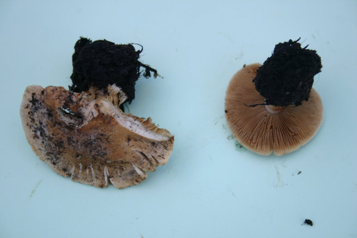 Conocybe intrusa 004a.JPG