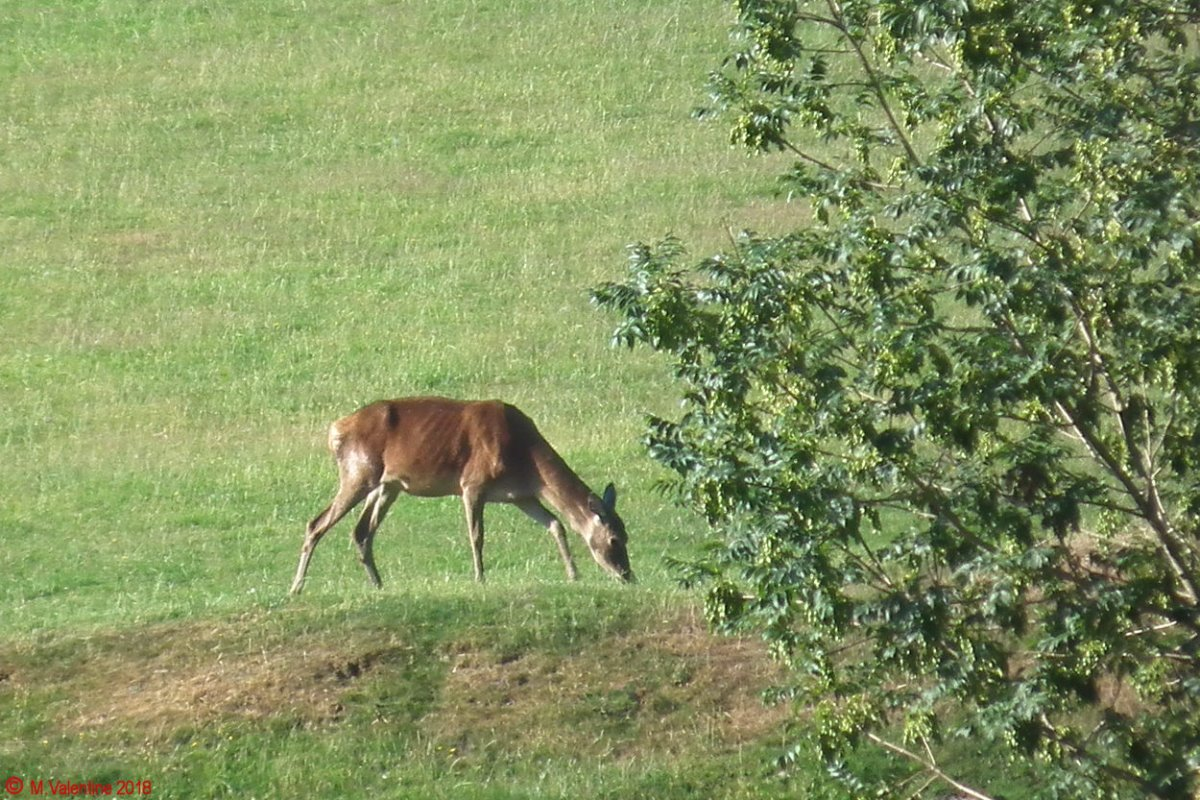04 Red Deer hind.jpg