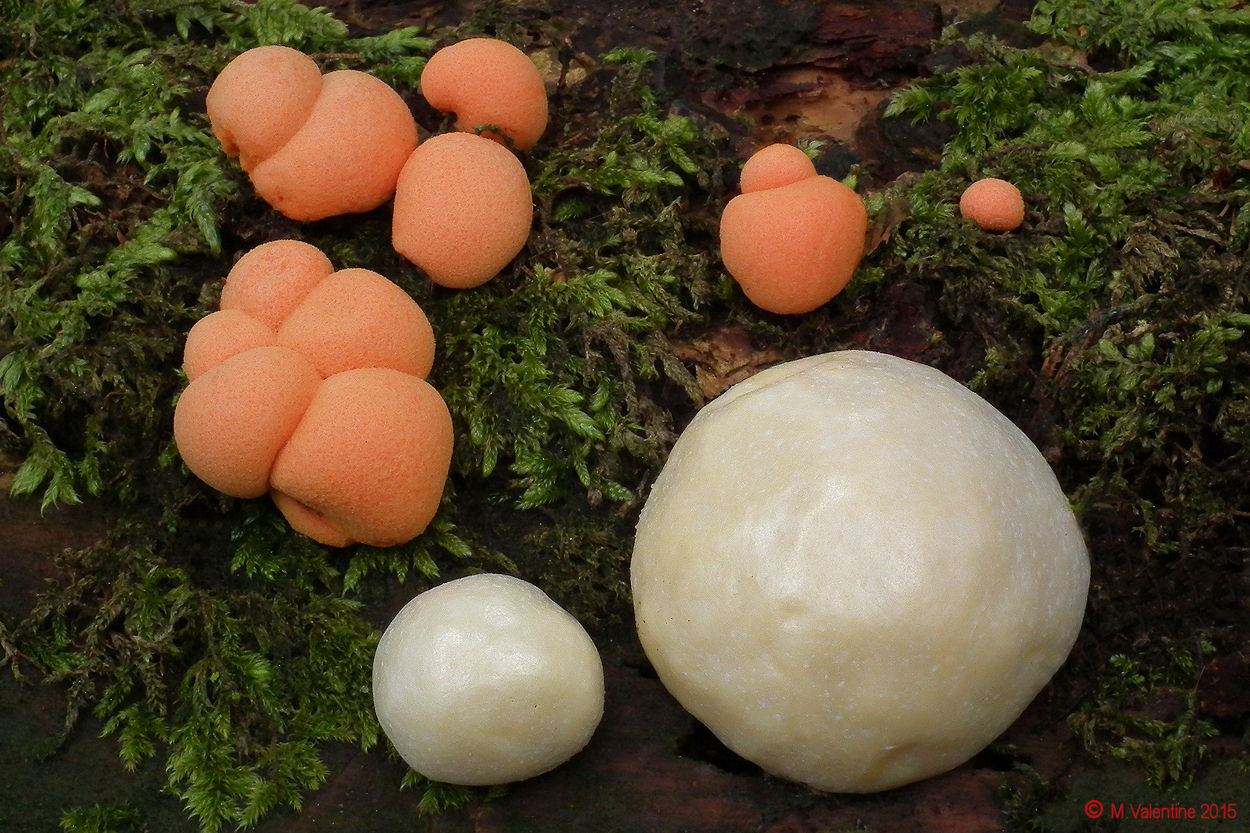 Lycogala epidendron and Reticularia lycoperdon.jpg