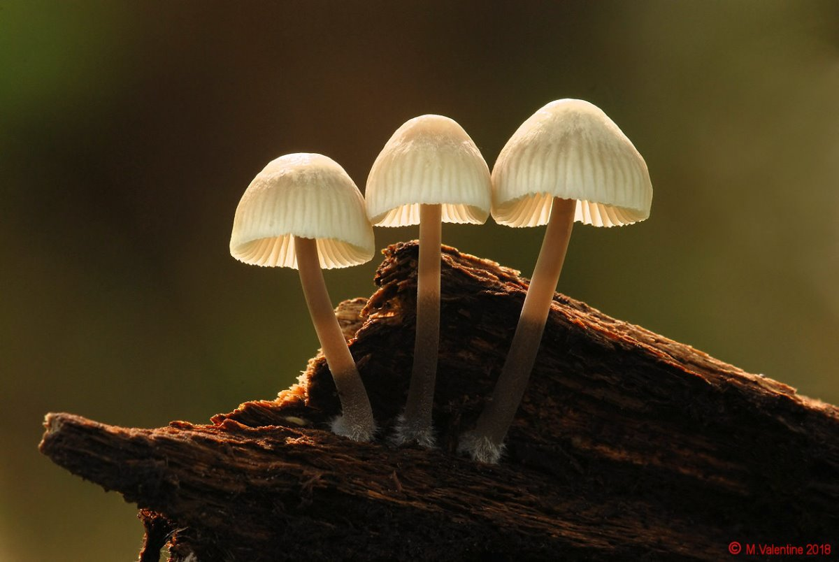 Mycena arcangeliana - Angel's Bonnet.jpg